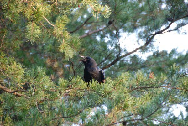 pine crow